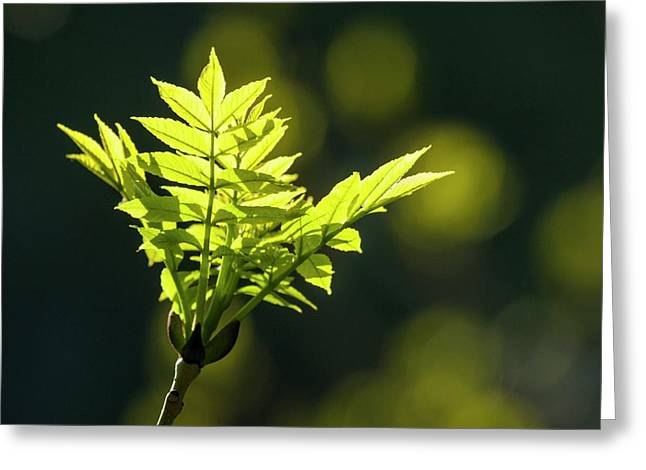 New Growth On An Ash Tree Greeting Card by Alex Hyde