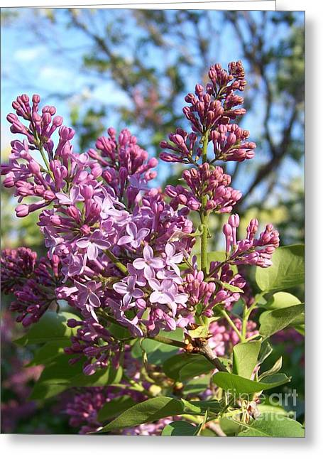 Purple Lilac Greeting Card by Eunice Miller