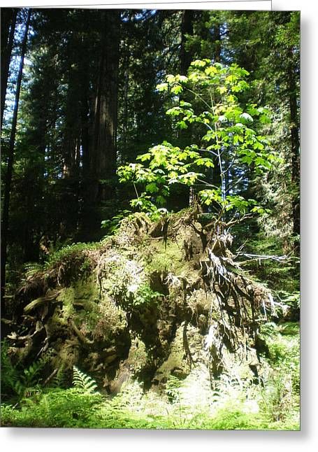 New Life For Old Stump Greeting Card by Suzanne McKay