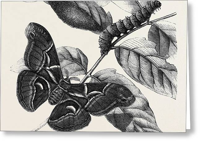 New Silkworm Moth Saturnia Cynthia Caterpillar And Cocoon Greeting Card by English School