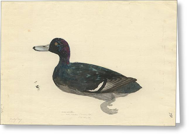 New Zealand Scaup Greeting Card by Natural History Museum, London