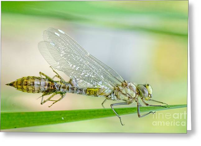Newborn Blue Hawker Dragonfly Greeting Card