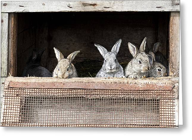 Newborn Bunnies In Cages Greeting Card by Nerijus Juras