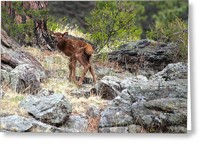 Newborn Elk Calf Greeting Card