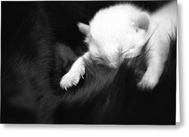 Newborn Kitten Greeting Card by Grigoriy Pil