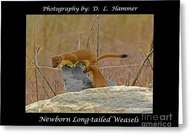 Newborn Long-tailed Weasels Greeting Card by Dennis Hammer