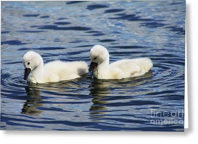 Greeting Card featuring the photograph Newborn Mute Swans by Alyce Taylor