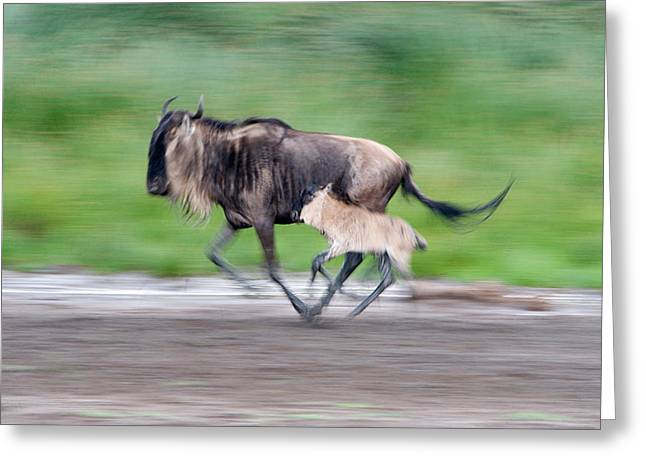 Newborn Wildebeest Calf Running Greeting Card