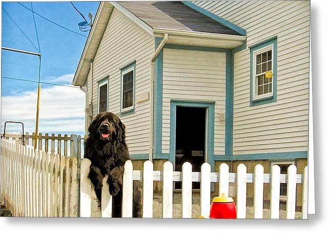 Newfoundland Dog In Newfoundland Greeting Card