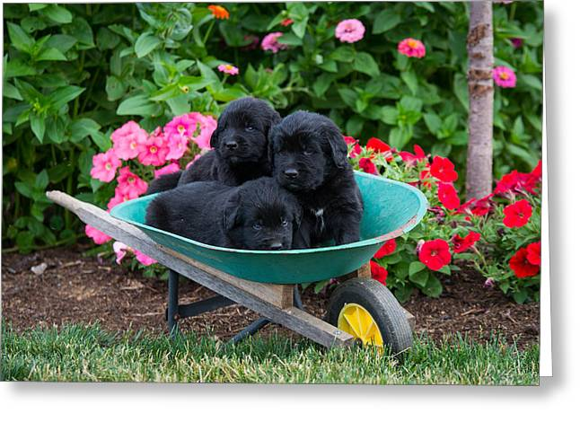 Newfoundland Puppies Greeting Card