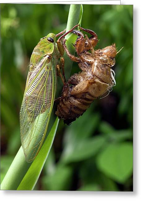 Newly Emerged Green Grocer Cicada Greeting Card
