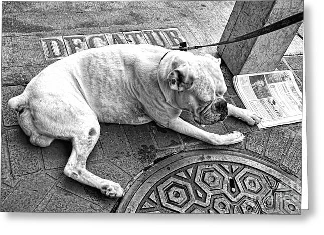 Newsworthy Dog In French Quarter Black And White Greeting Card by Kathleen K Parker