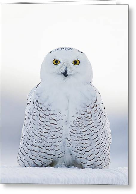 Nh Seacoast Snowy Owl  Greeting Card