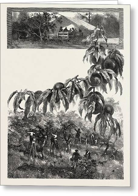 Niagara District, The Fruit Harvest, Canada Greeting Card