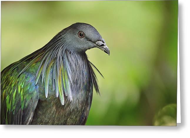 Nicobar Pigeon Nicobar Islands India Greeting Card