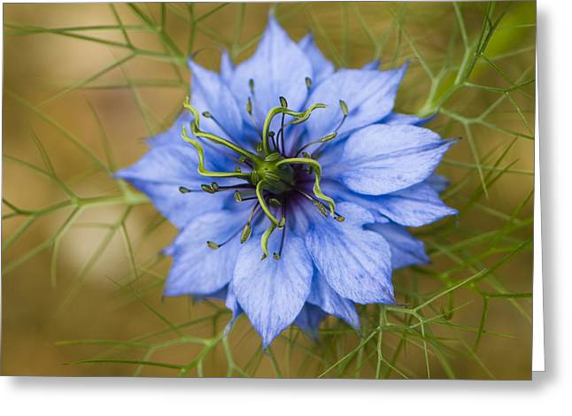 Nigella Damascena Greeting Card