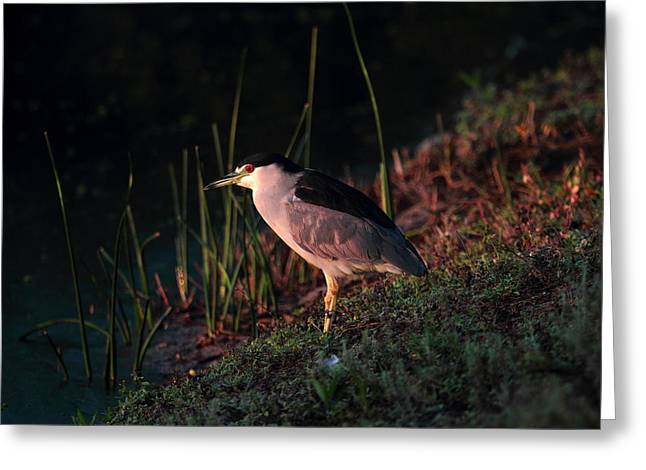 Night Heron  Greeting Card by Duncan Selby