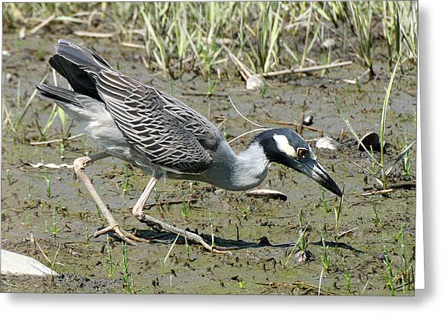 Night Heron Feeding Greeting Card