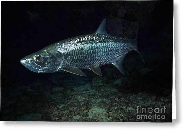 Night Tarpon Greeting Card by Carey Chen