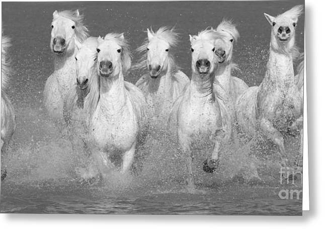 Nine White Horses Run Greeting Card by Carol Walker