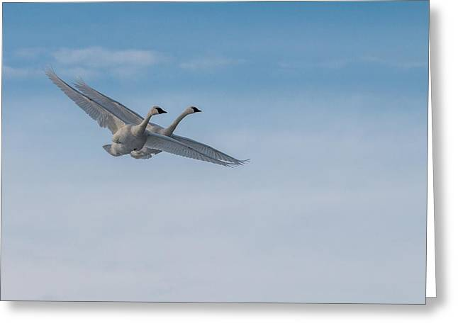 Trumpeter Swans Tandem Flight Greeting Card