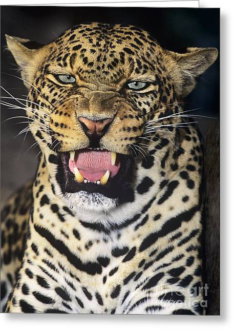 No Solicitors African Leopard Endangered Species Wildlife Rescue Greeting Card