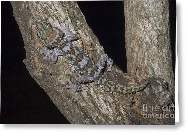 Nocturnal Gecko Greeting Card by Greg Dimijian