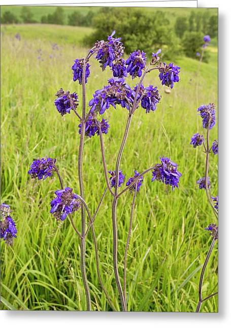 Nodding Sage (salvia Nutans) In Flower Greeting Card