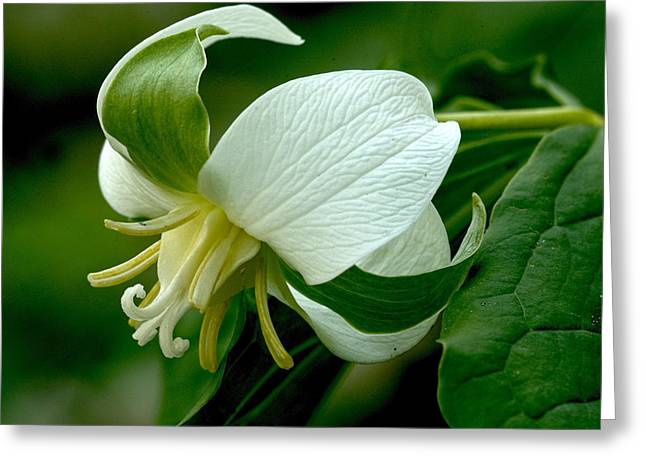 Nodding Trillium Greeting Card