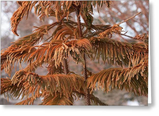 Norfolk Island Pine (a. Heterophylla) Greeting Card by Dr. Nick Kurzenko