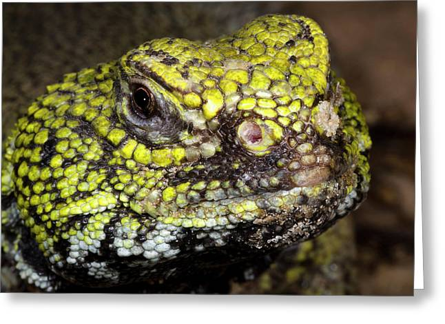 North African Spiny-tailed Lizard Greeting Card