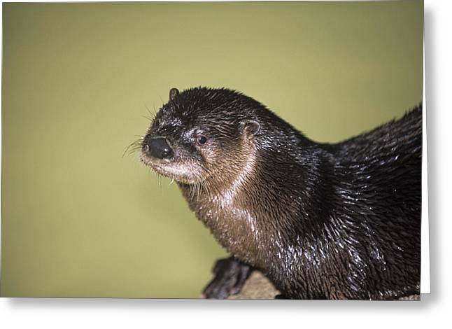 North American River Otter Greeting Card by Sally Mccrae Kuyper/science Photo Library
