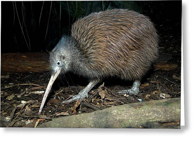 North Island Brown Kiwi Greeting Card by Tony Camacho/science Photo Library