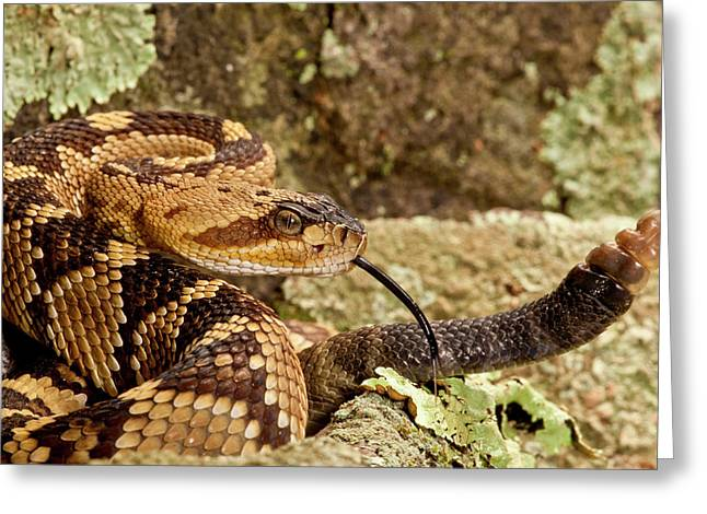 Northern Black-tailed Rattlesnake Greeting Card by David Northcott