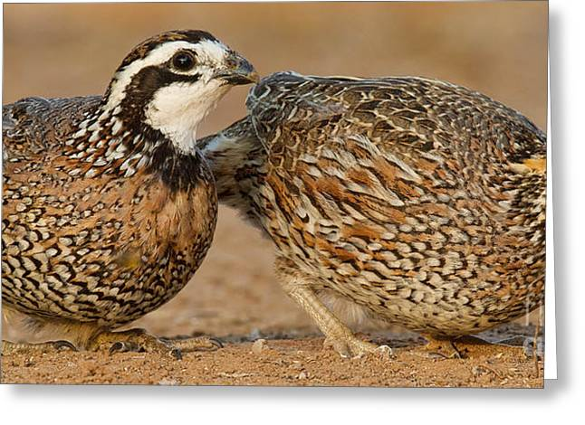Northern Bobwhite Pair Greeting Card by Jerry Fornarotto