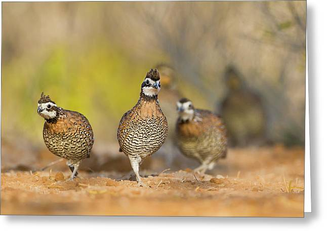 Northern Bobwhite Quail (colinus Greeting Card by Larry Ditto