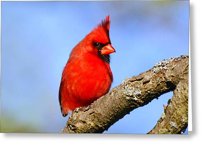 Northern Cardinal Greeting Card by Christina Rollo