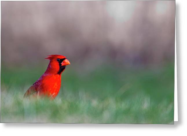 Northern Cardinal In Loup County Greeting Card