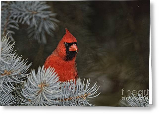 Northern Cardinal In Spruce Tree Greeting Card