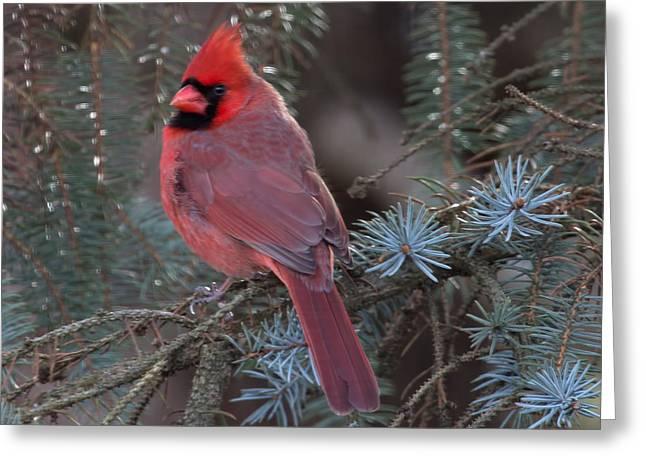 Northern Cardinal Greeting Card by John Kunze