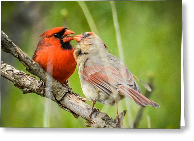 Northern Cardinal Male And Female Greeting Card