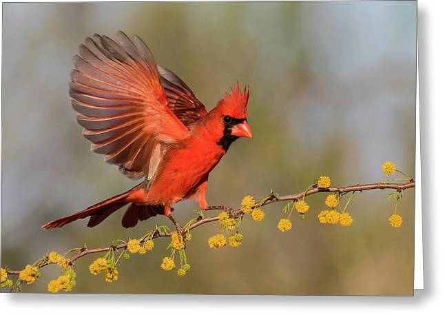 Northern Cardinal Male Landing Greeting Card by Larry Ditto