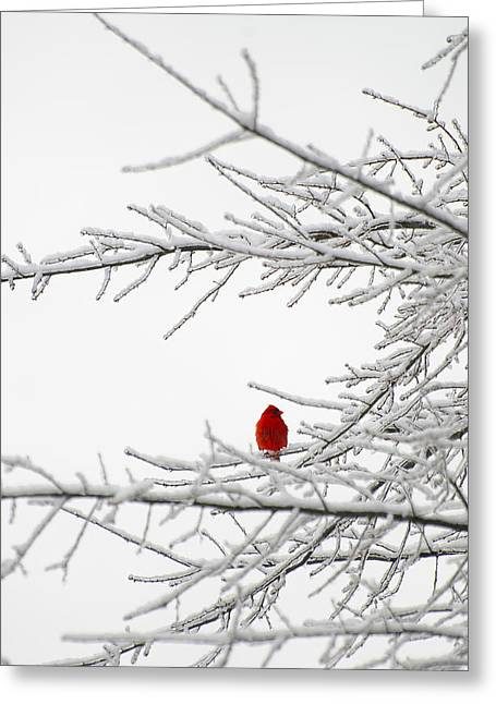Northern Cardinals Perched In A Snow Covered Tree Greeting Card