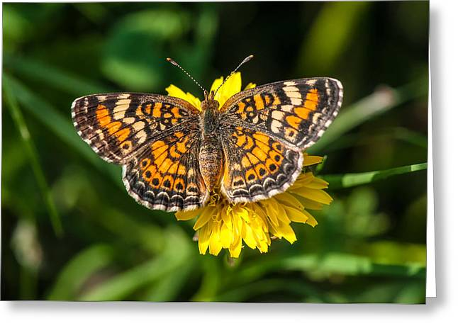 Northern Crescent Butterfly Greeting Card