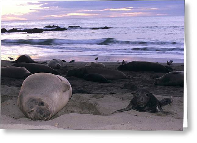 Northern Elephant Seal Cow And Pup At Sunset Greeting Card by Don Kreuter
