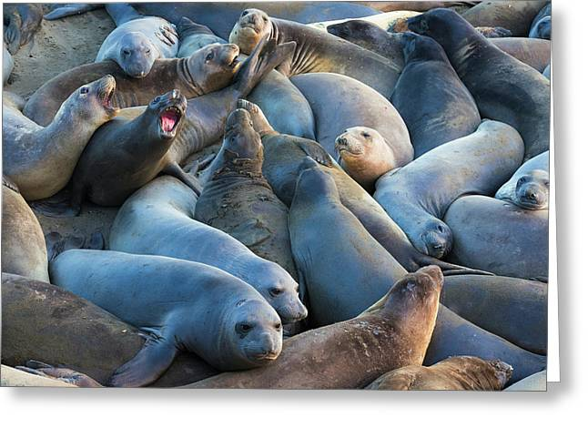 Northern Elephant Seals At Piedras Greeting Card