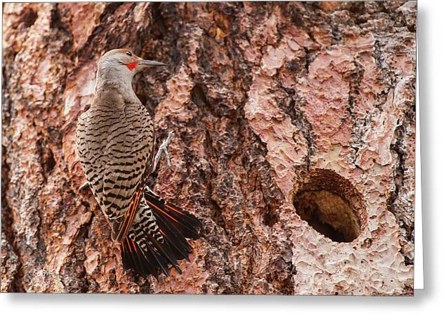 Northern Flicker Balanced On The Bark Greeting Card
