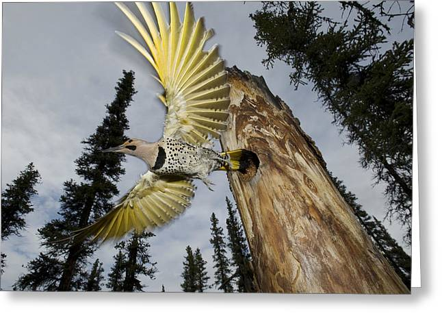 Northern Flicker Leaving Nest Cavity Greeting Card