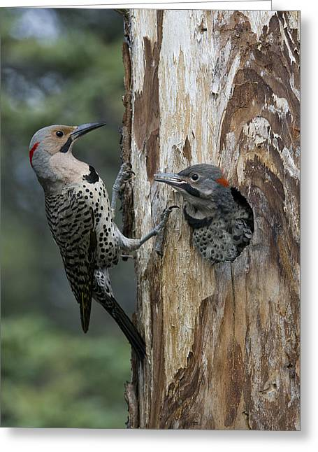 Northern Flicker Parent At Nest Cavity Greeting Card
