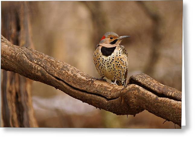 Northern Flicker Greeting Card by Sandy Keeton